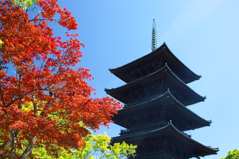 Spring maple, at Toji Temple