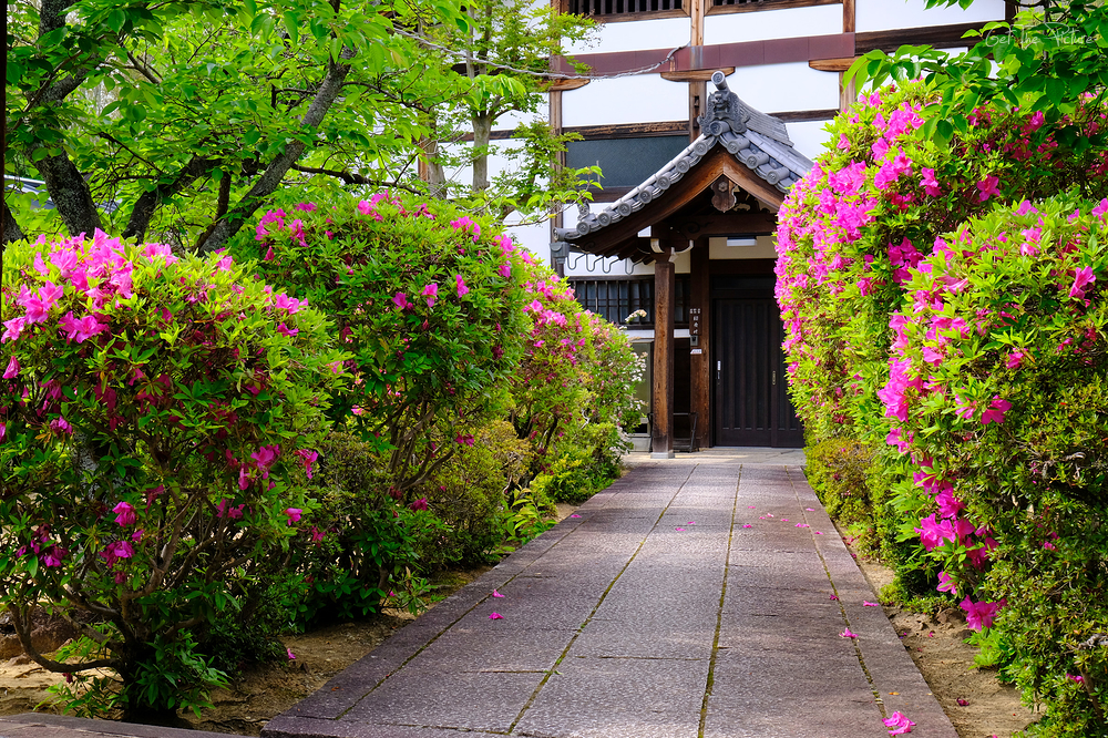 gauntlet of azaleas at Hotoji