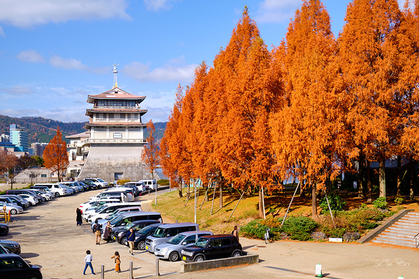 the metasequoia at lake biwa