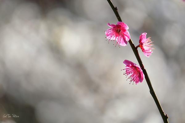 in full bloom at Chishakuin