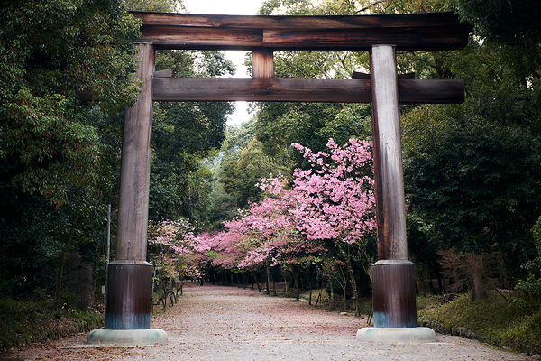 enjoying the blossoms at Ohmi Jingu