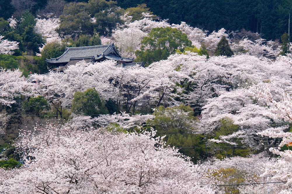 Miidera in a sea of blossoms