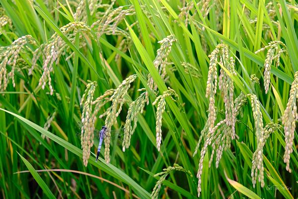blue flier on rice