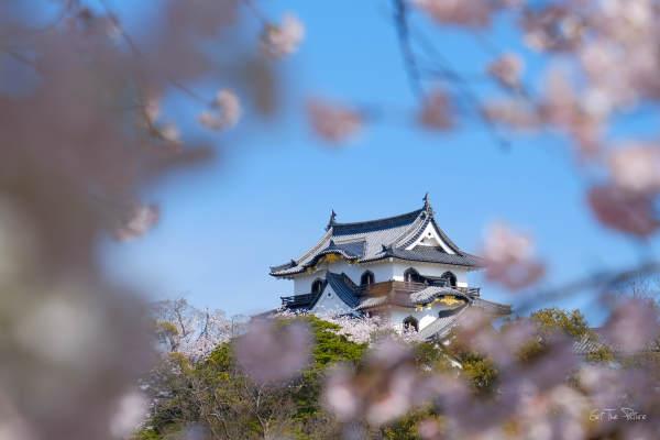 Hikone Castle through cherry blossoms