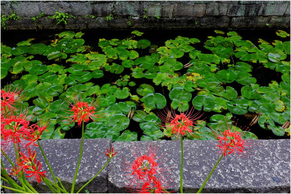 September flowers - Spider Amarylis