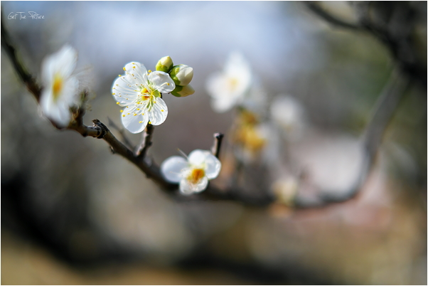 the first plum blossoms