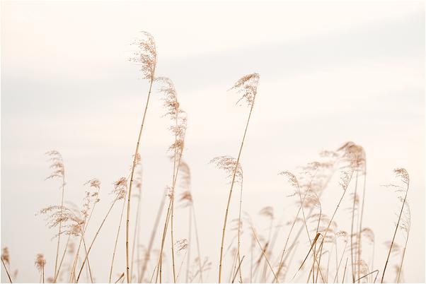 susuki - Japanese pampas grass