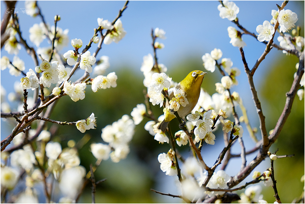 a Mejiro (Japanese White Eye) among the blossoms