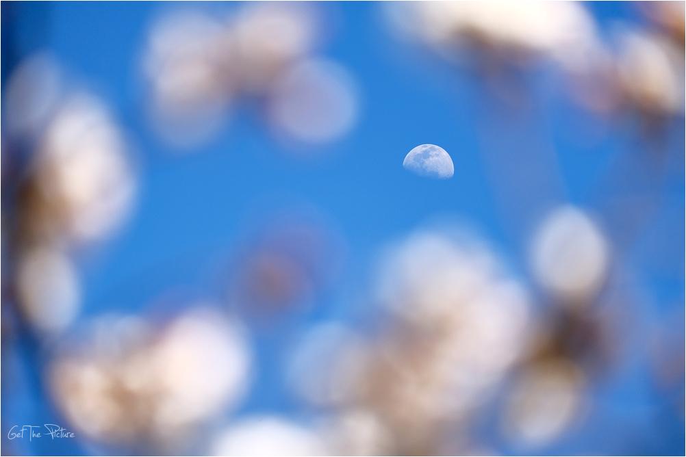 luna through the blossoms