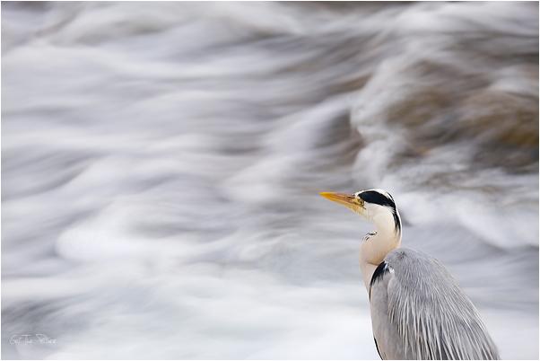 hunting on the Kamo River, Kyoto