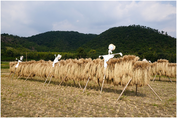3 riders needed to tame Kyoto's giant rice beasts