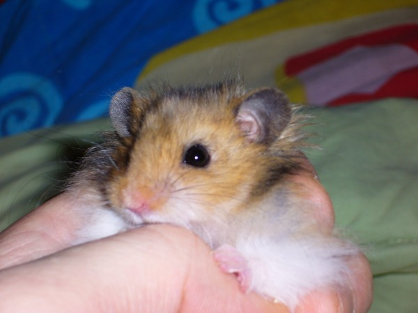 Booger hamster held by hand