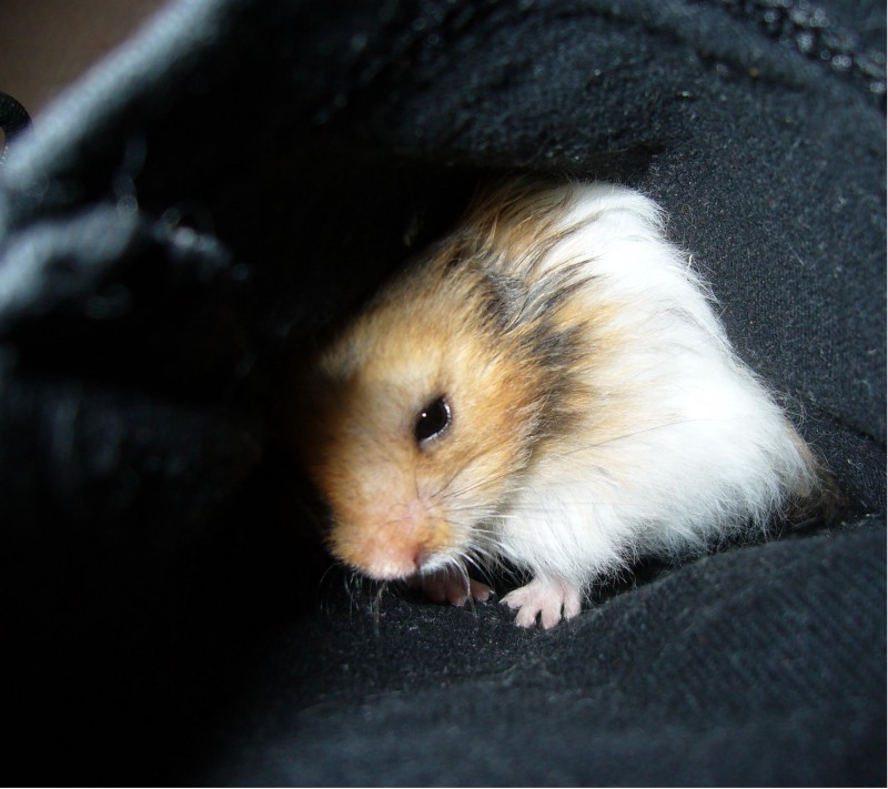 syrian hamster funny look booger