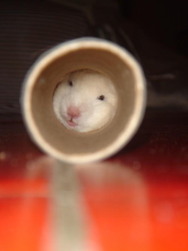 syrian hamster tube skuzzball