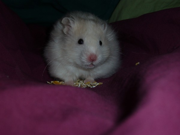 skuzzball long  hair syrian hamster cute