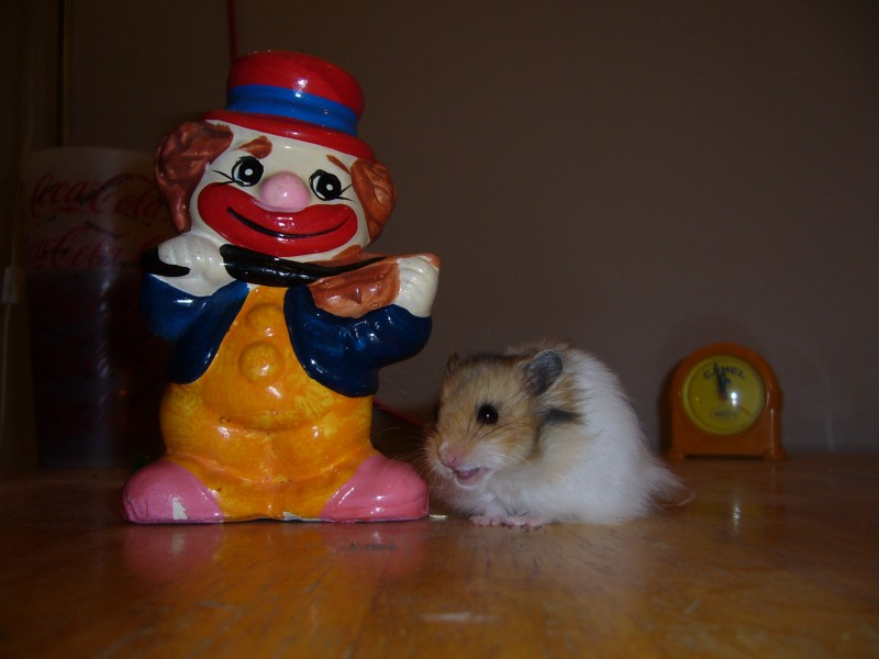 Booger hamster syrian clown cute