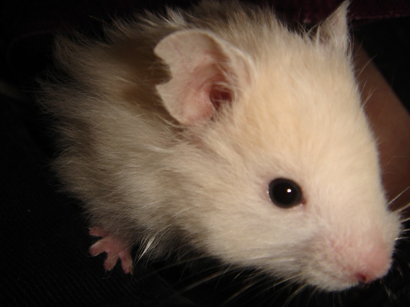 skuzzball syrian hamster close cute