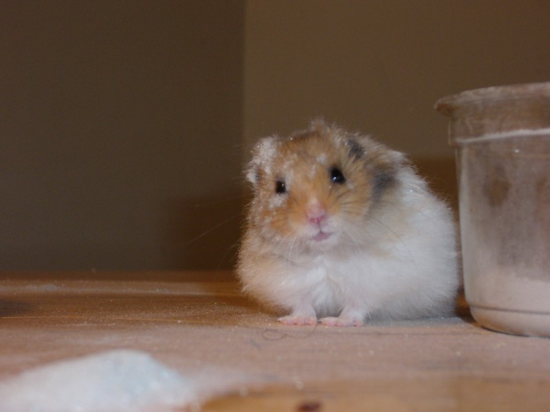 Booger syrian hamster dust cute