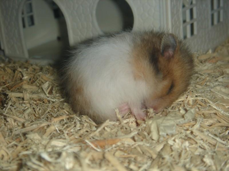 booger syrian hamster baby sleeping cute hamtastic