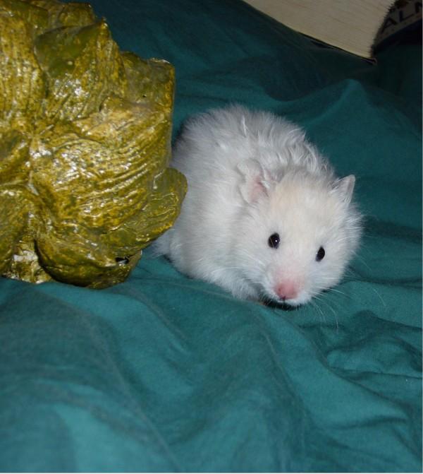 skuzzball syrian hamster artichoke cute
