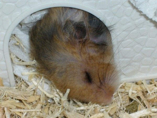 Booger syrian hamster sleeping cute