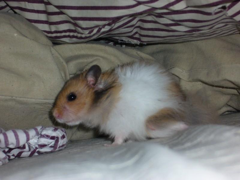 Booger hamster syrian evil eye cute