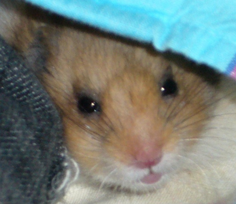 Booger syrian hamster close up face cute
