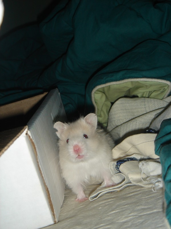Skuzzball syrian hamster young cute