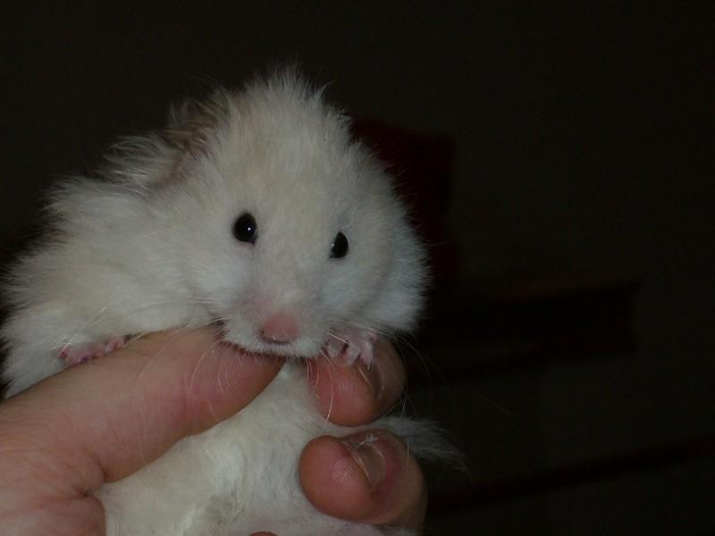 skuzzball syrian hamster close cute