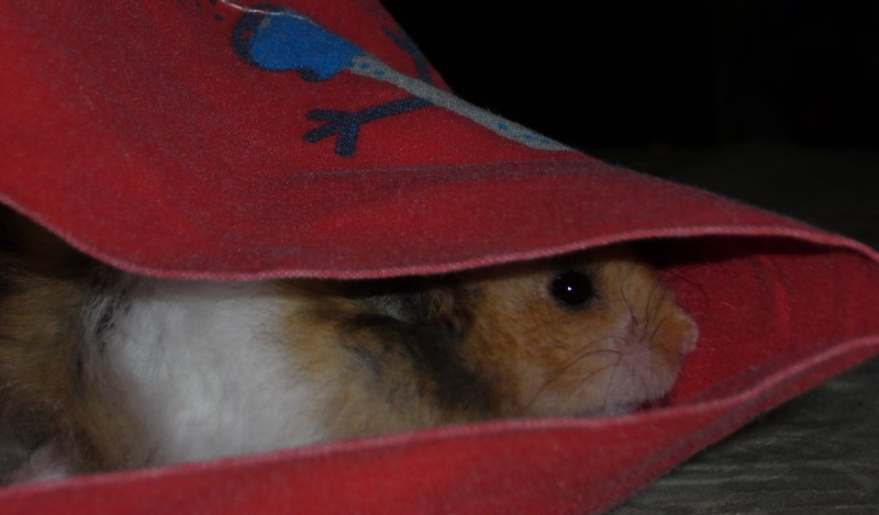 Booger hamster syrian hide stealth cute