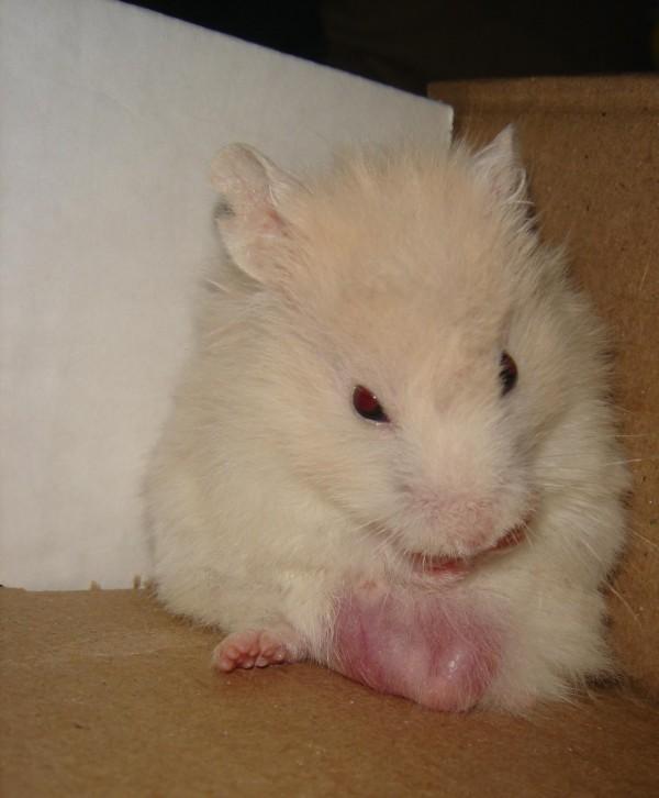 Skuzzball syrian hamster grooming cute