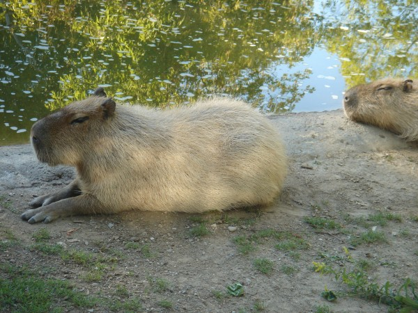 Capybara cute toronto zoo
