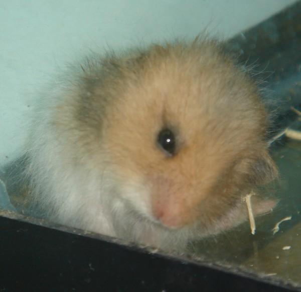 Booger hamster syrian evil eye look cute hamtastic