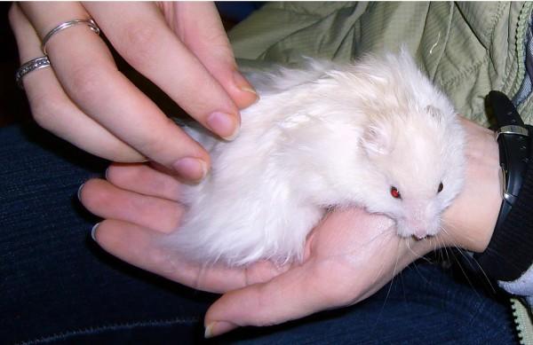 skuzzball syriam hamster hold cute hamtastic