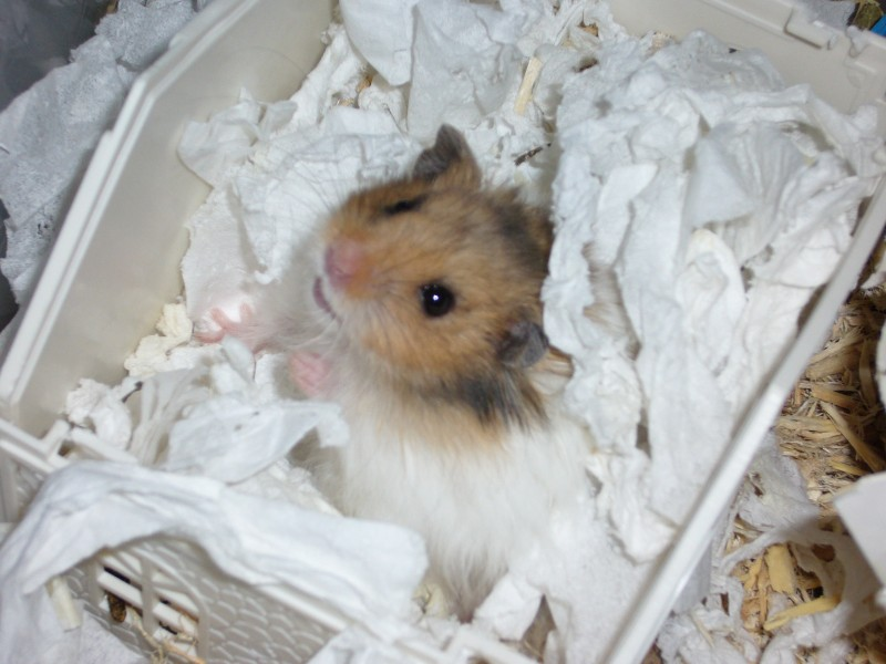 Booger hamster syrian cute hamtastic