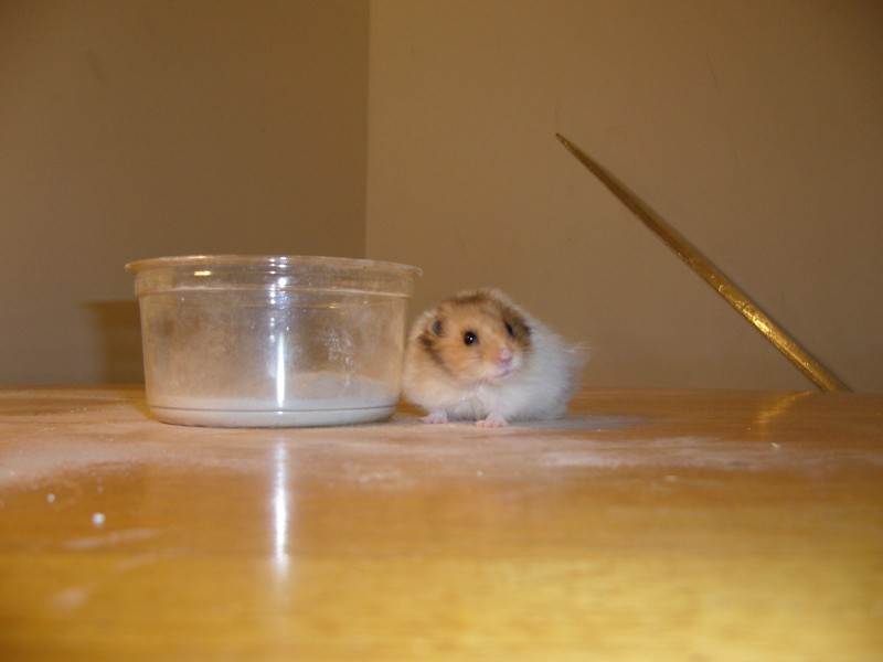 booger syrian hamster dust cute hamtastic