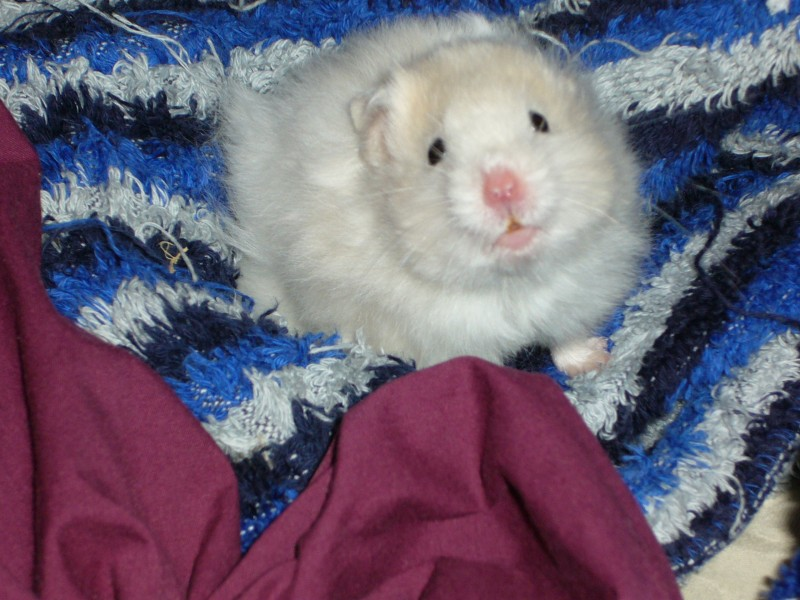 Skuzzball syrian hamster sleepy cute hamtastic