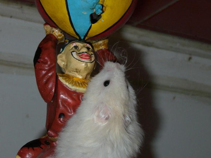 Skuzzball syrian hamster clown cute hamtastic