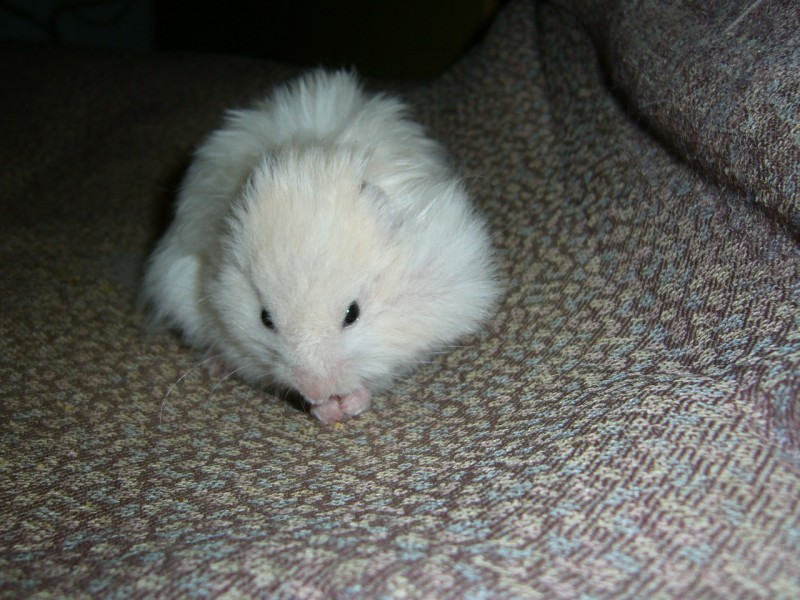 Skuzzball syrian hamster attempts to hoard cute
