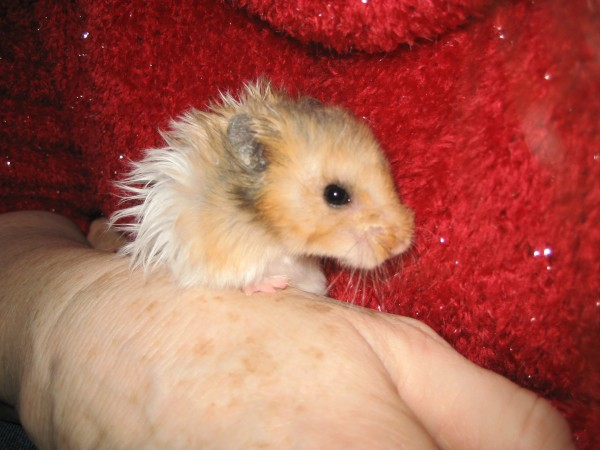 Booger hamster held by hand cute hamtastic