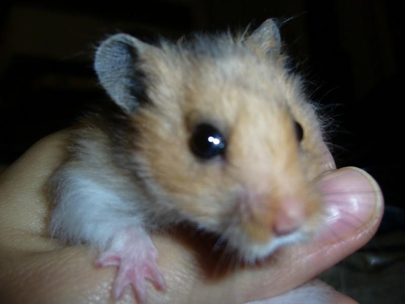 Booger hamster held by hand hamtastic cute