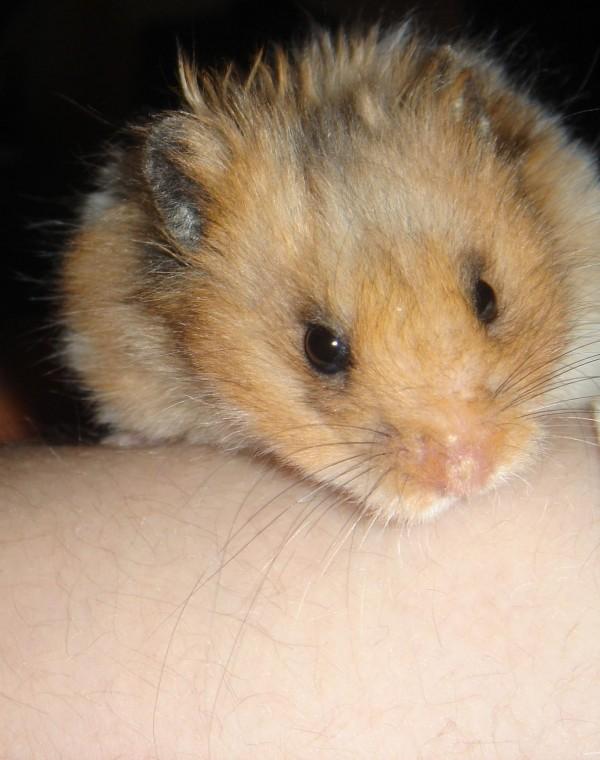 Booger syrian hamster face cute hamtastic