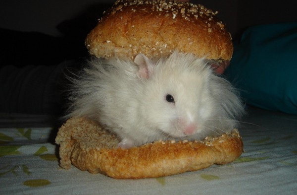 Skuzzball syrian hamster food cute hamtastic