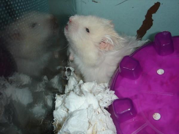 Skuzzball syrian hamster cute hamtastic