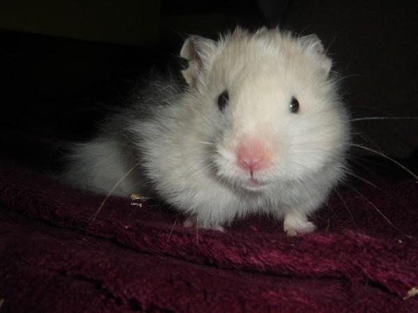 Skuzzball syrian hamster cheeks food hamtastic