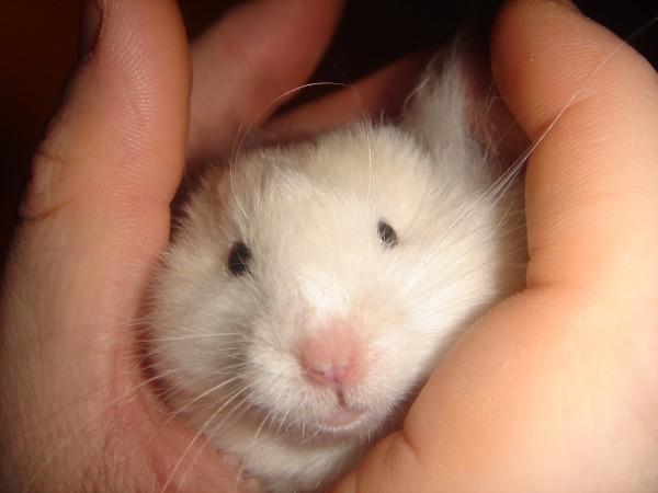Skuzzball syrian hamster attempts to hide cute ham