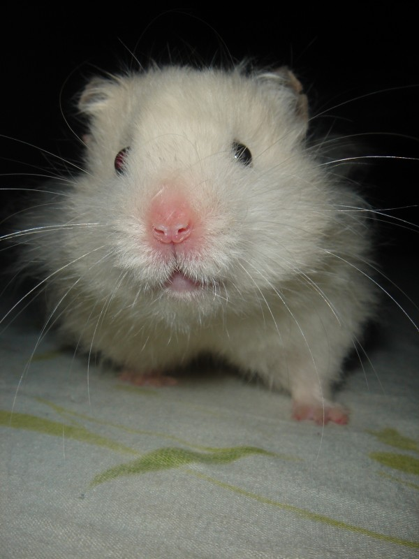 Skuzzball syrian hamster cute hamtastic ned