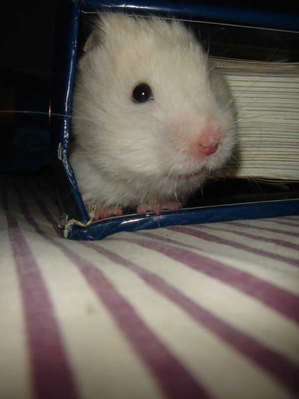 Skuzzball hamster