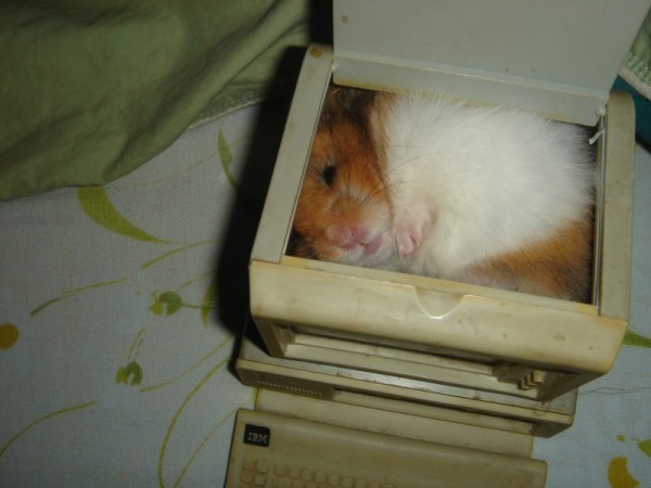 Booger cute hamtastic syrian hamster