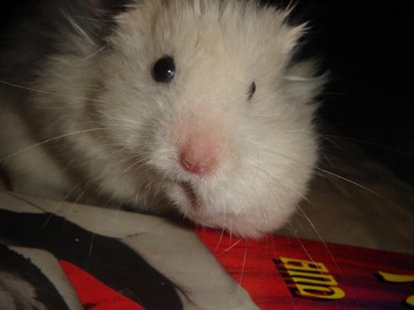Skuzzball hamtastic cute syran hamster Ned